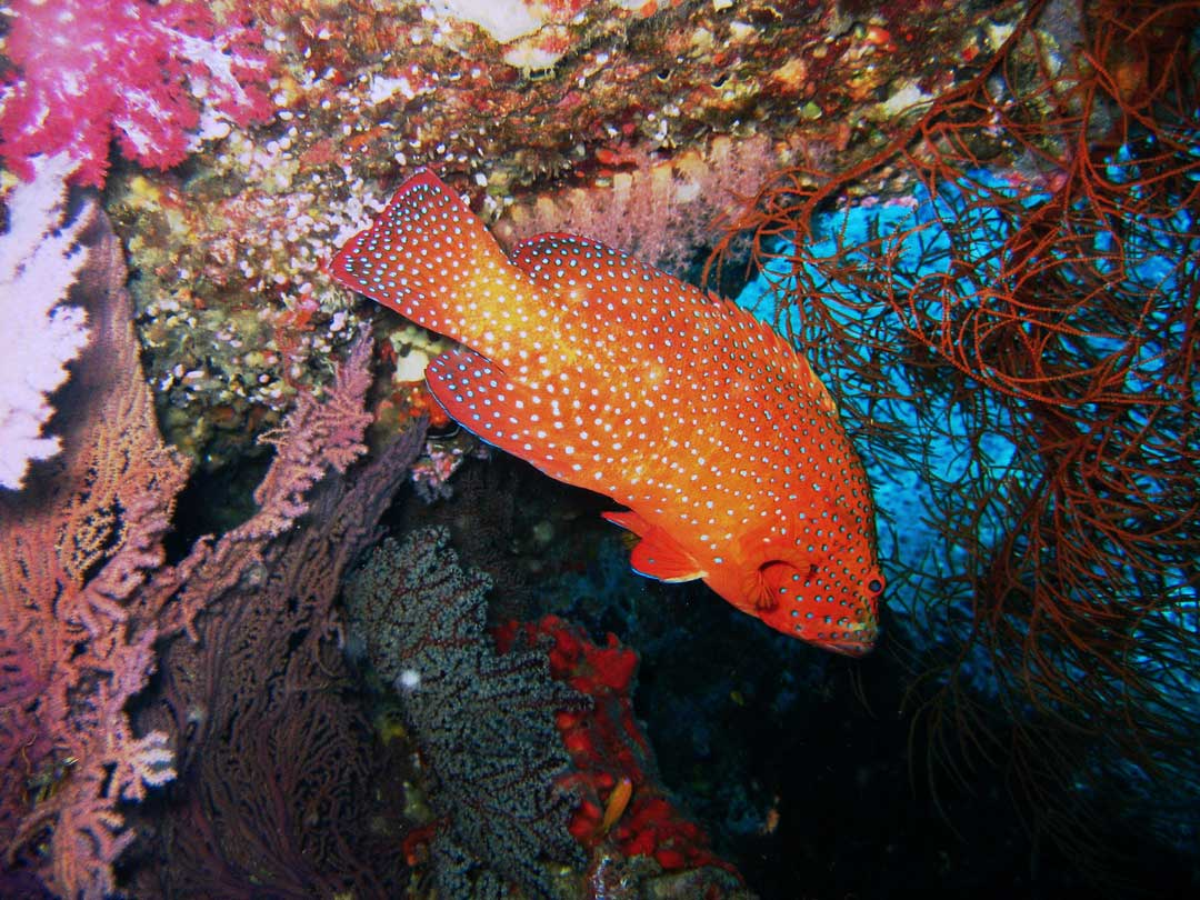 Scuba diving with the coral grouper at Richelieu rock