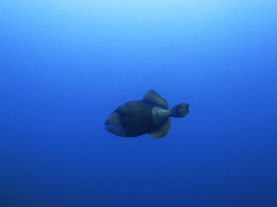 Titan triggerfish in the blue at Koh Similan Thailand