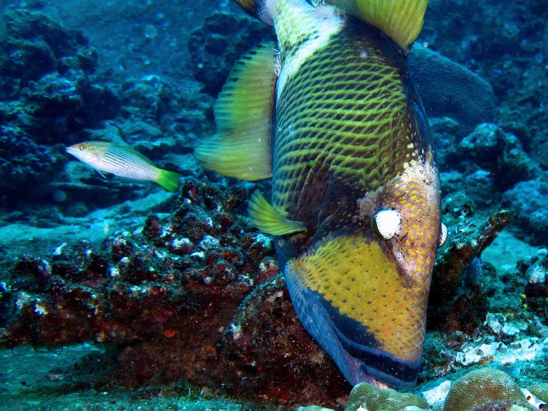 Titan Triggerfish at Ko Similan Thailand