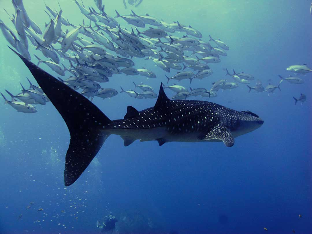See the whale shark on a diving daytrip at Richelieu rock
