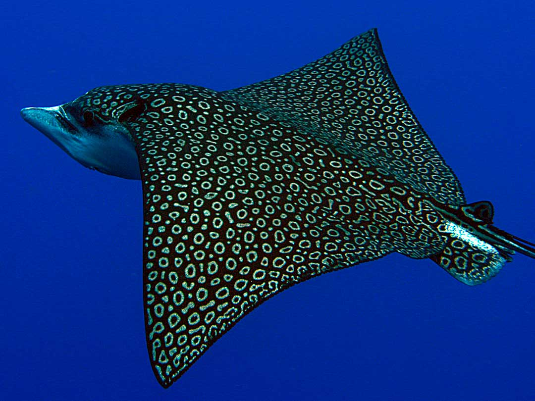 White spotted eagle ray at Richelieu rock dive site