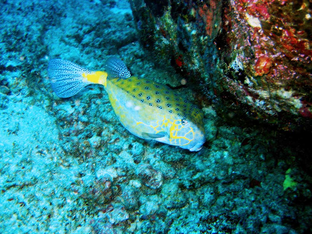 Yellow boxfish at the Similan islands