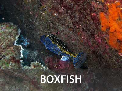 Photos of the boxfish in the Similan islands fish guide