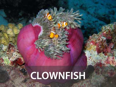 Photos of the clownfish in this Similan islands fish guide