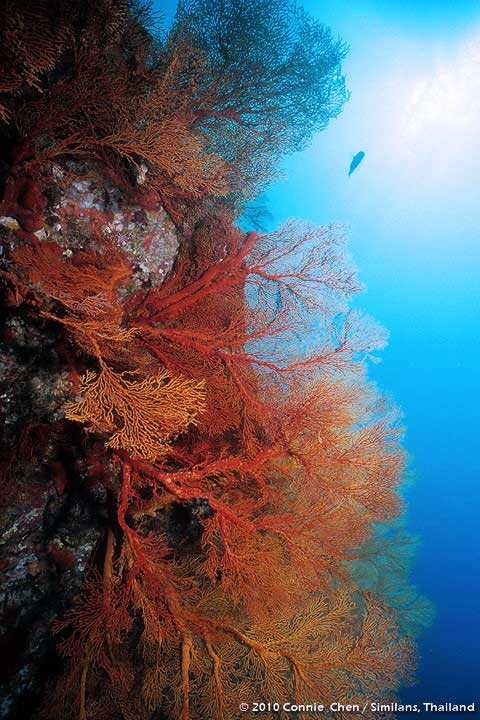 Colorful corals at the Similan islands