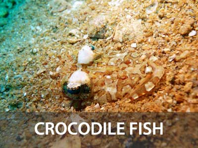 Photos of the crocodille fish in this Similan islands fish guide