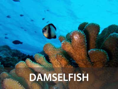 Photos of the damselfish in this Similan islands fish guide