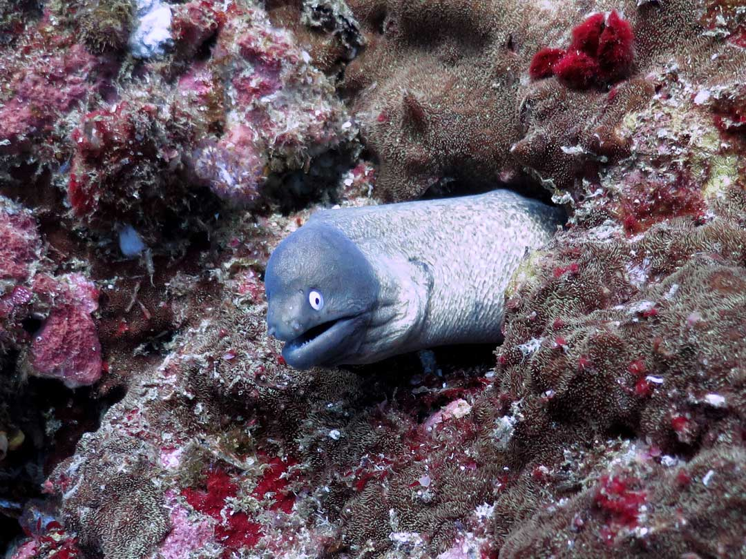 Koh Tachai is a great dive site for spotting the Moray eel
