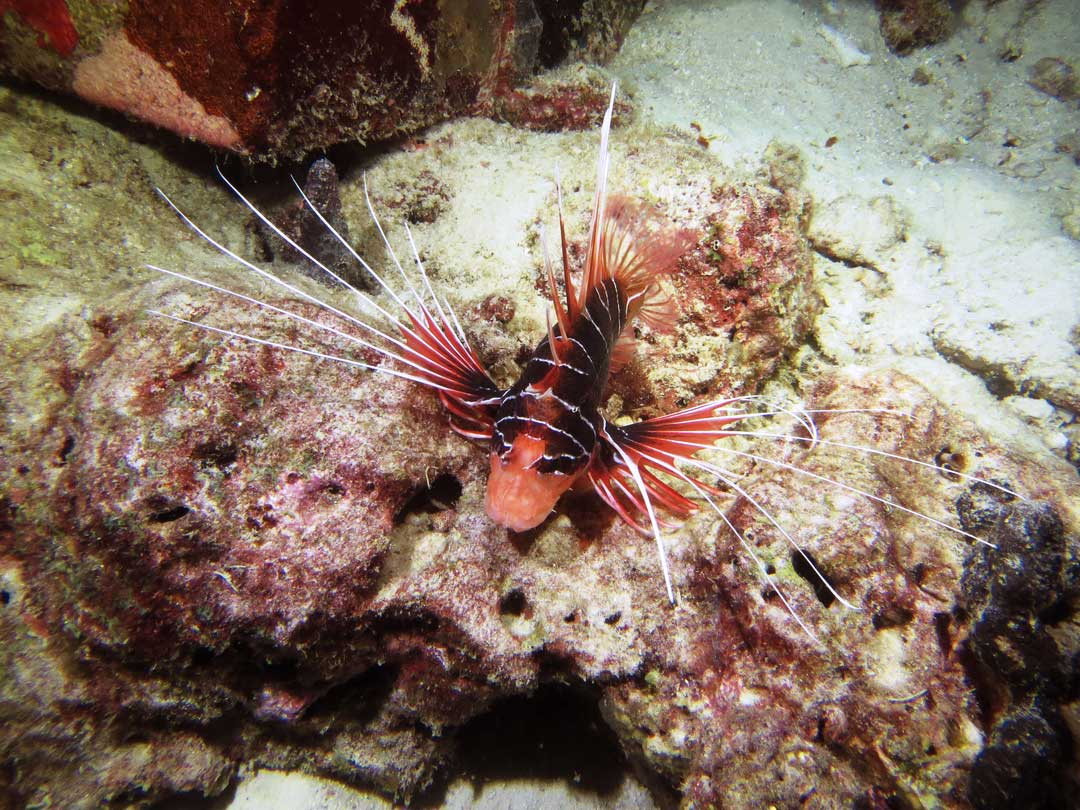 Lionfish at Khao Lak local dive site Bangsak wreck