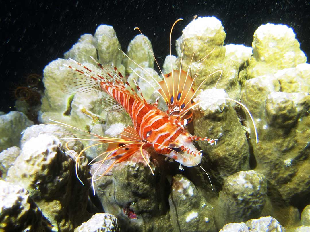 Lionfish at Khao Lak local dive site Boonsung wreck