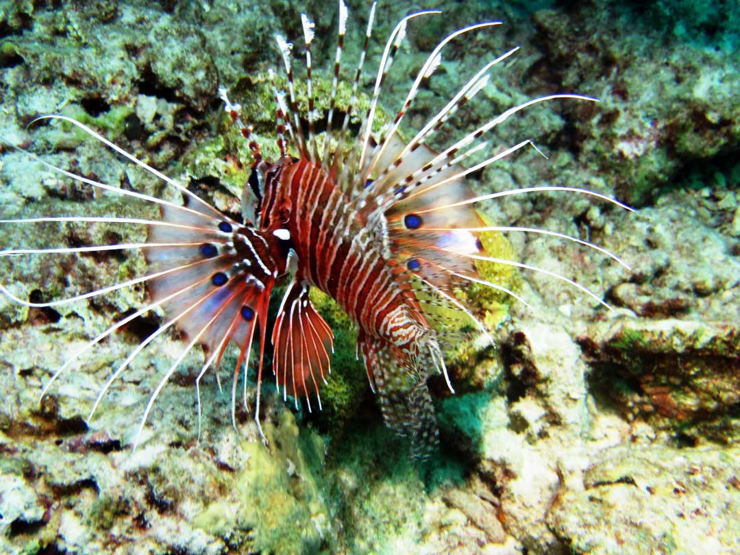 Lionfish at the Koh Bon dive site