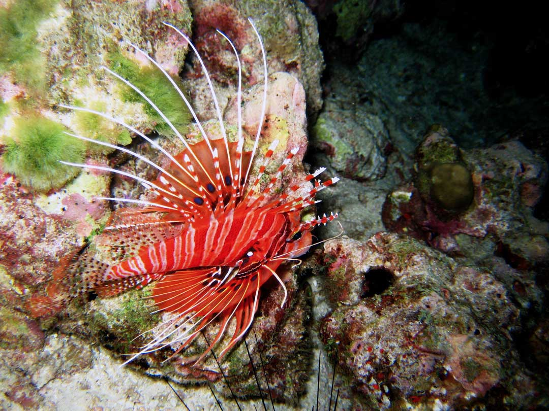 Lionfish at Richelieu rock Thailand