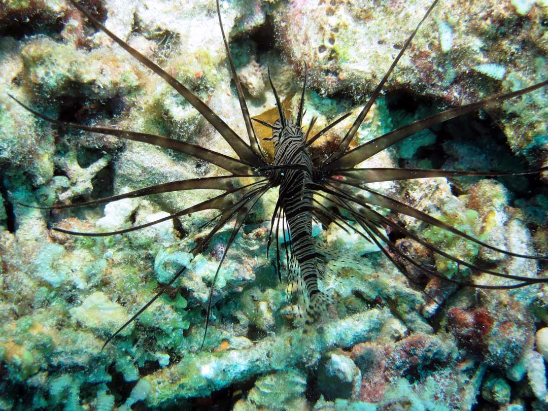 Lionfish at the Similan islands Thailand