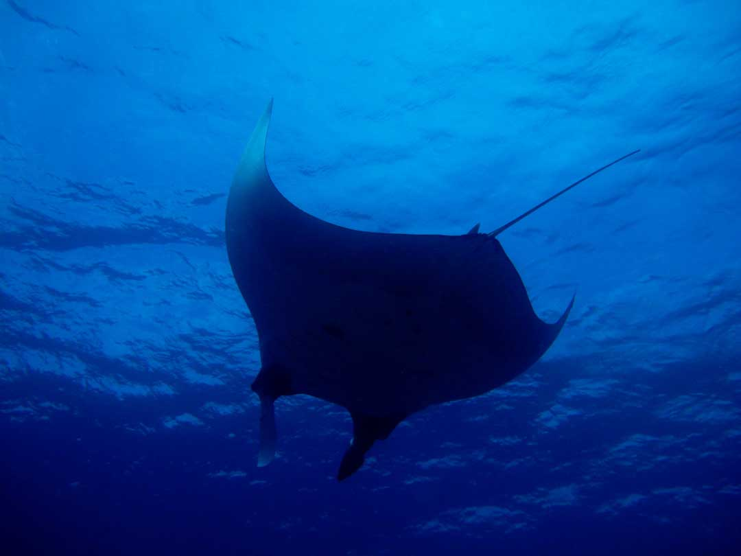 Manta ray at the Koh Tachai dive site inside Similan islands national park