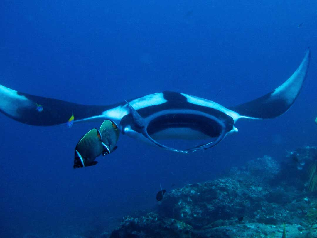 Manta ray at cleaning station Koh Bon inside Similan islands national park