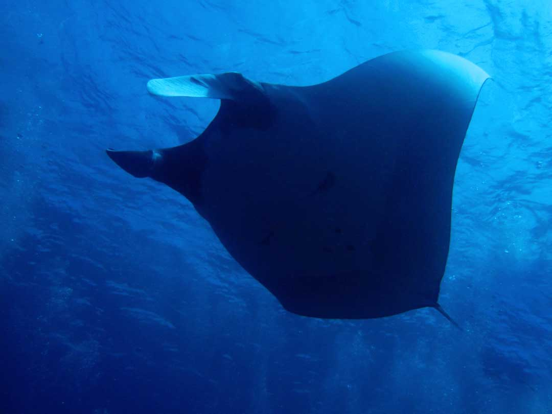 Manta ray seen at mantapoint Koh Bon