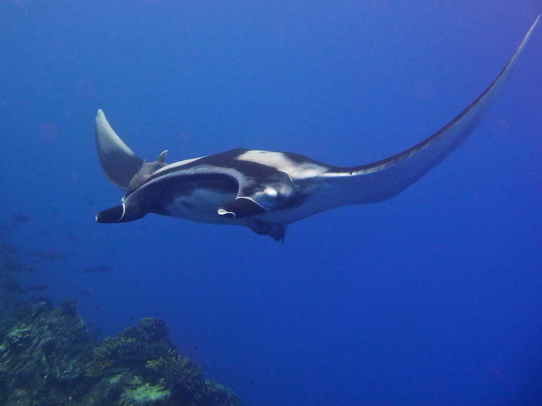 Manta ray at Koh Bon in the Similan islands national park