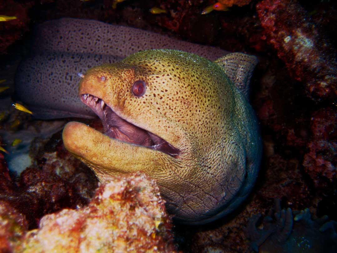 Moray eel at Koh Bon pinnacle Thailand