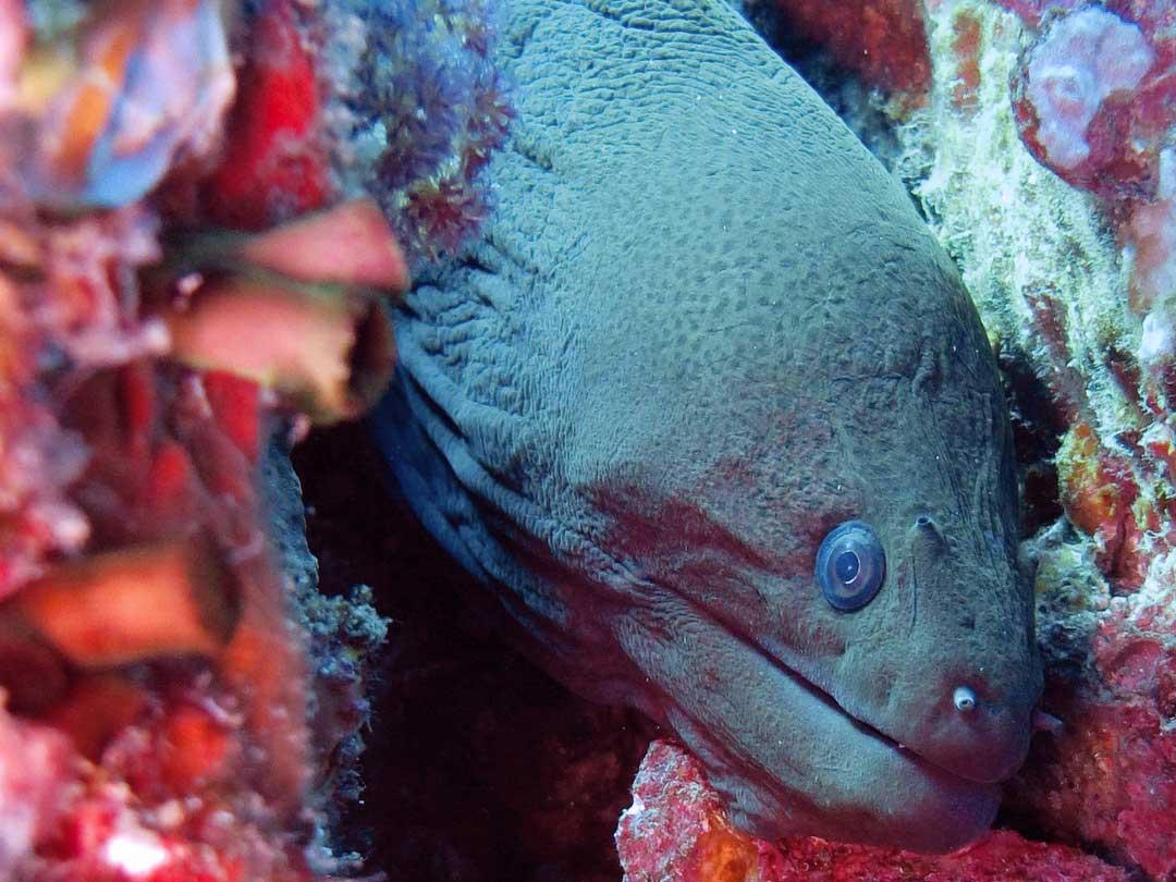 Moray eel at the Koh Bon dive site