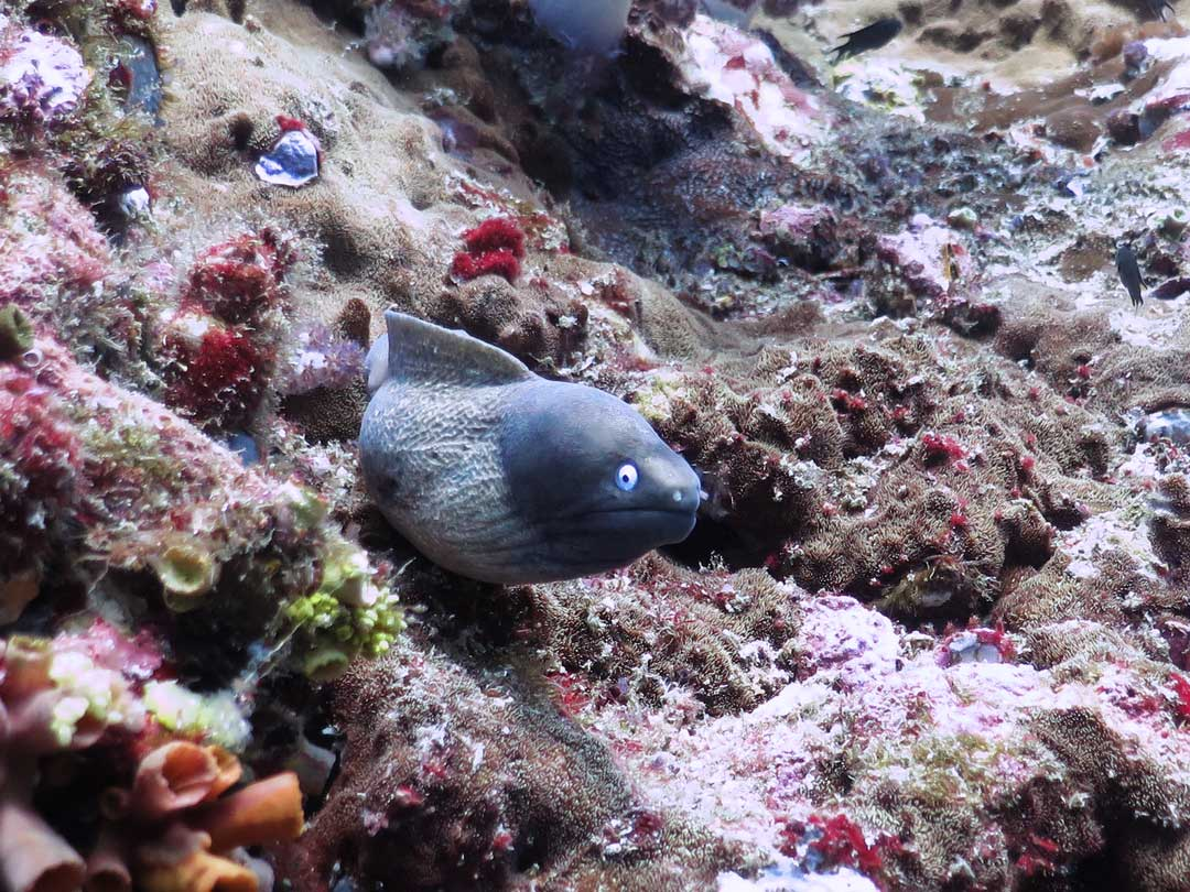 Moray eel at Koh tachai inside Similan islands national park