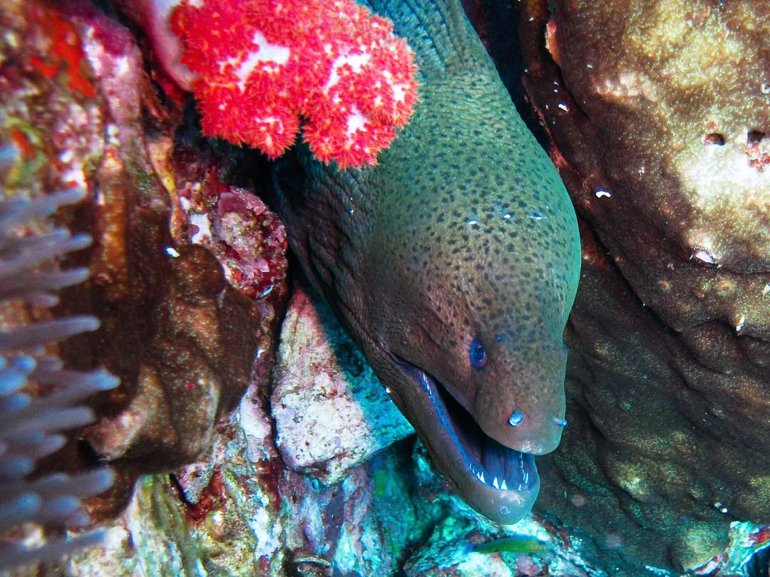 Richelieu rock diving with the moray eel