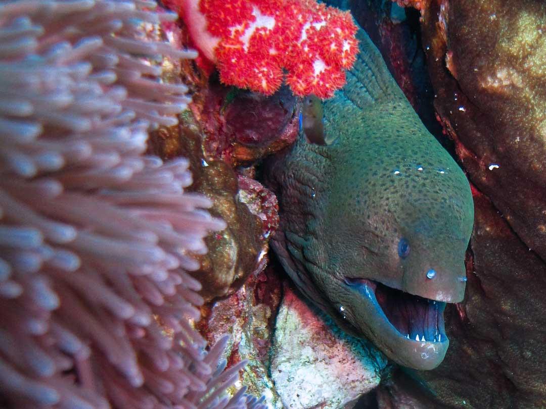 Giant moray eel at Similan islands Thailand