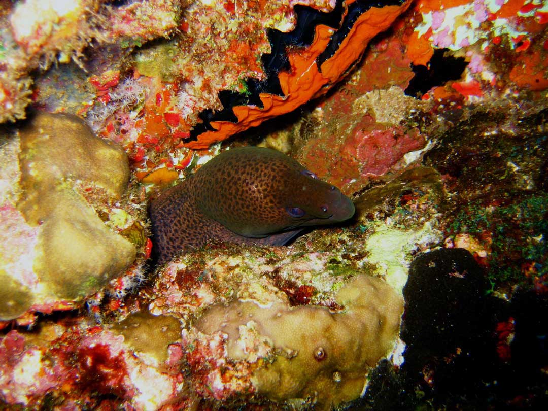 Moray eel hiding in the reef wall at Richelieu rock