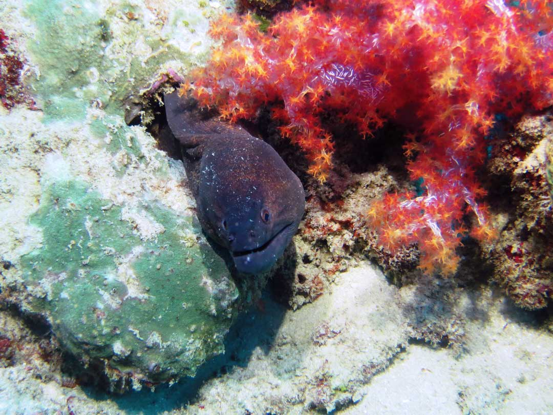 See the Moray eel at the Koh Bon dive site