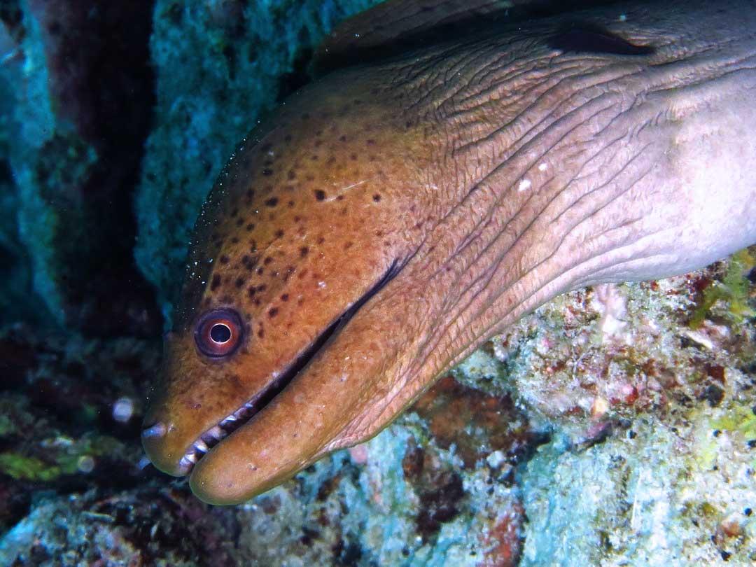 Moray eel at the Similan islands national park