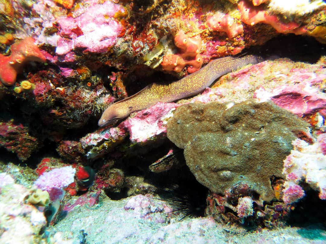 See the moray eel on your Similan diving tour