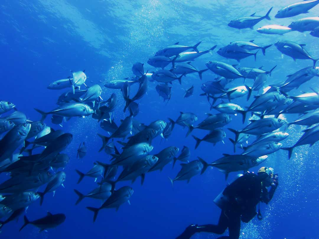Big school of Bluefin Trevally at the Richelieu rock dive site
