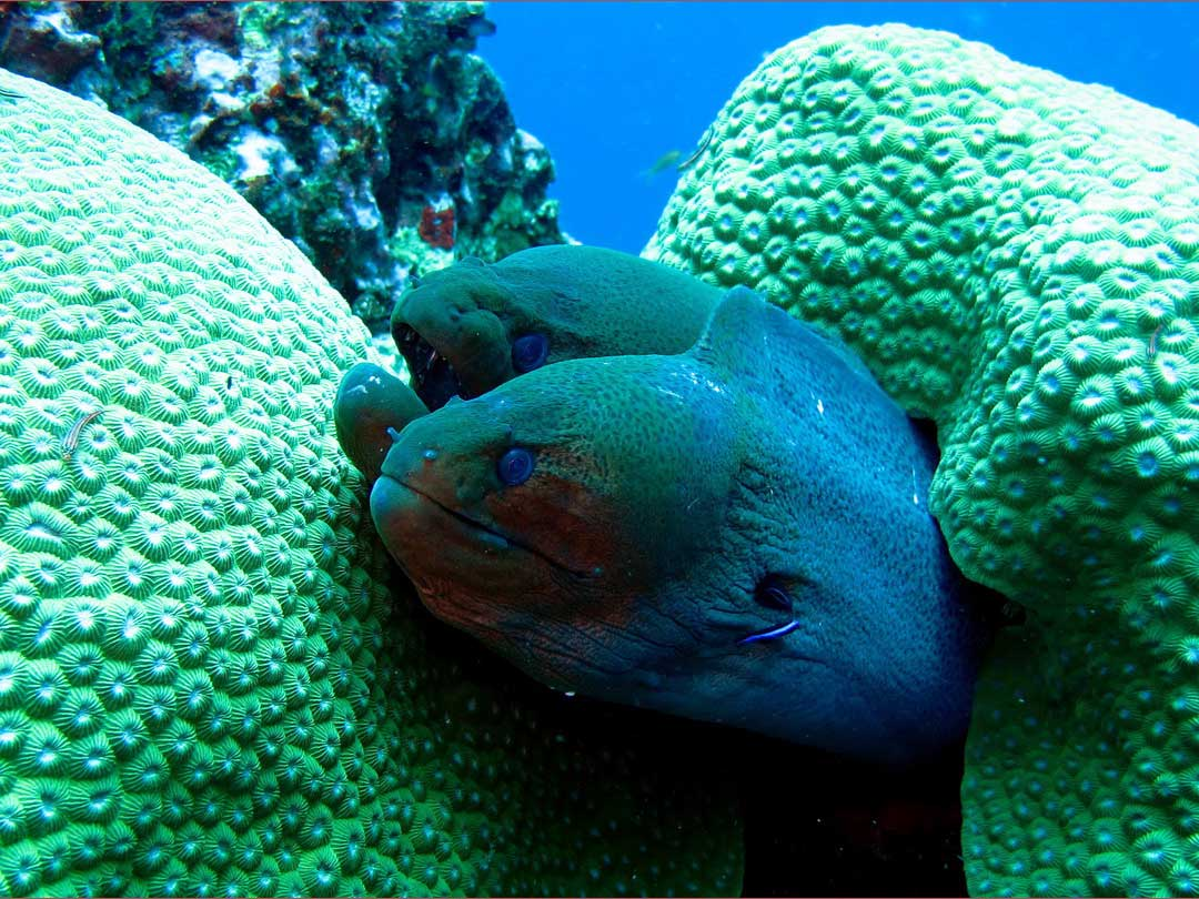 See the two Moray eels at the Similan islands dive site Beacon Bay