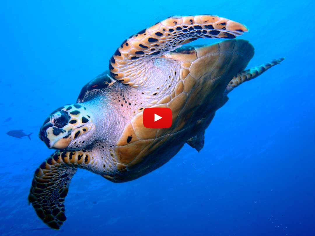 Siving with the sea turtle on  the Manta Queen 2 diving liveaboard tour to Koh Bon