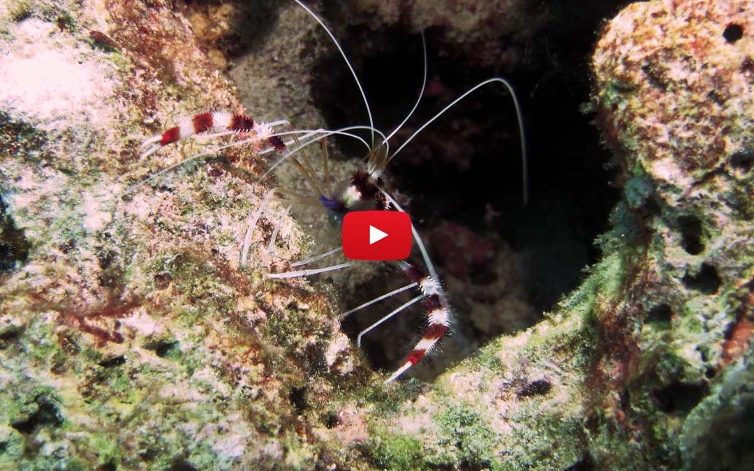 Coral banded cleaner shrimp