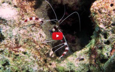 Coral banded cleaner shrimp