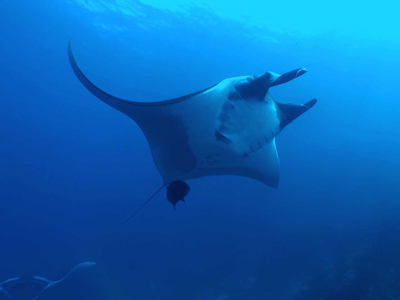 See the manta ray on a scuba diving daytrip to Koh Bon and Koh Tachai on the MV Chay Yo