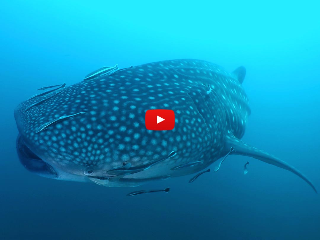 Whale shark diving on the Manta Queen 2 Richelieu rock diving liveaboard tour
